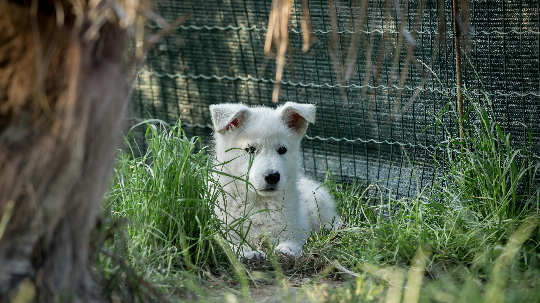 Cuccioli Pastore Bianco Svizzero